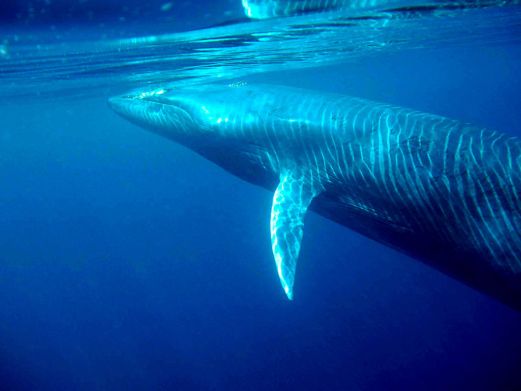 on the picture you see a blue whale